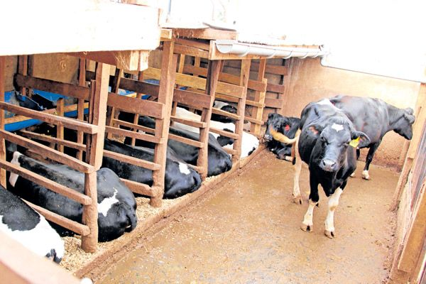 Dairy Farm Structure Planning and Construction