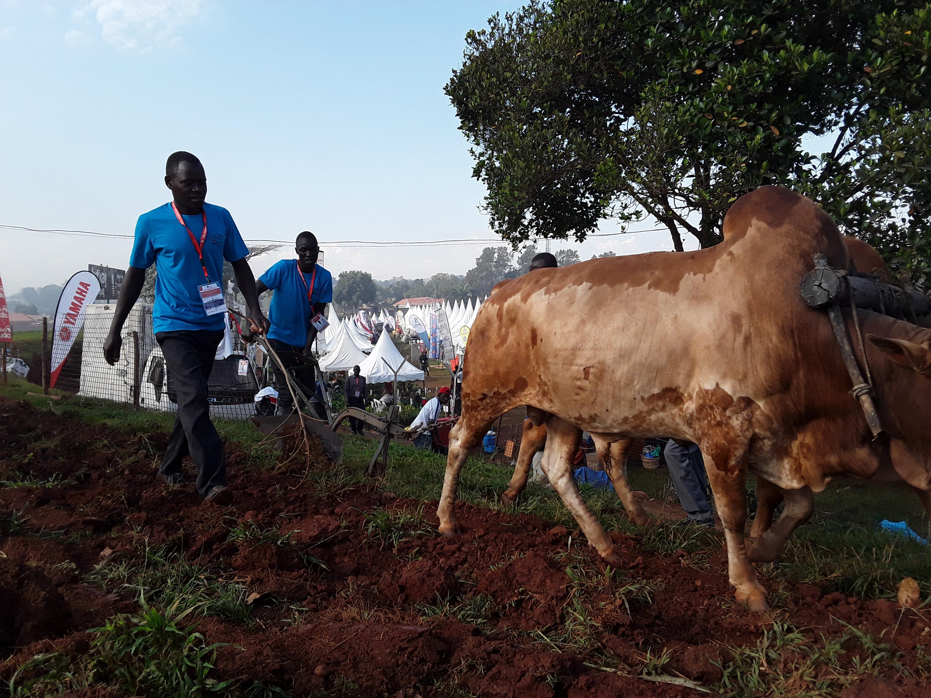 Farm stock selection and breeding